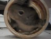 Squirrel in a peanut butter jar