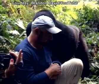 Mark David gets a kiss on the cheek from a gorilla in Uganda.