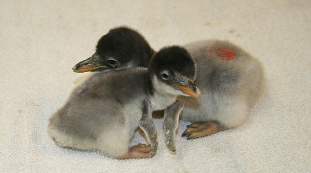 fuzzy baby penguins