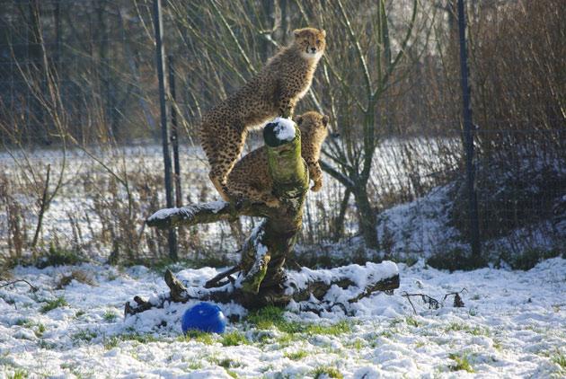 cheetah cubs enjoying the snow