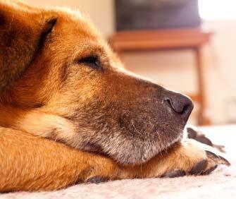 Senior dog lying on floor