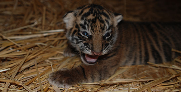 C.J., the Sacramento Zoo's Sumatran tiger cub, at 11 days old.
