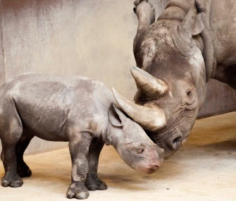 A rare Eastern black rhino was born at the Great Plains Zoo last month.