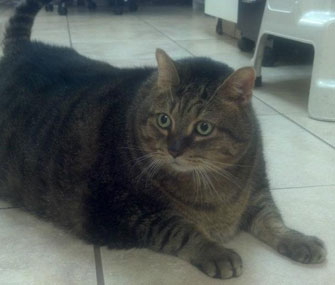 Tiny Tim the fat cat in Houston