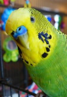 Learn How Disco the Talking Parakeet Became a YouTube Star