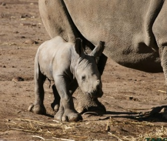 Keepers in Australia were surprised by the birth of a rare white rhino.