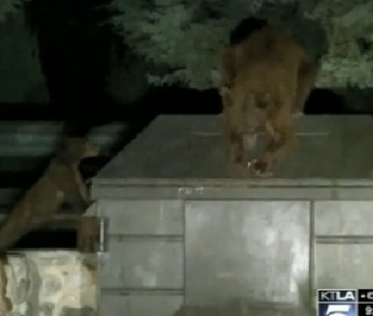 A mama bear tries to open the lid of a garbage bin where her cub is trapped.