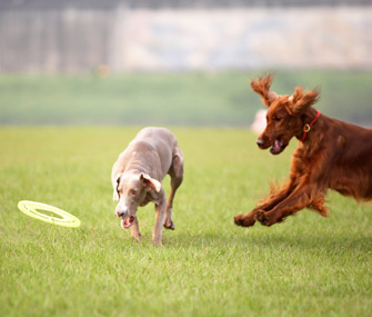 Dogs chasing after Frisbee ThinkstockPhotos-102107686 335lc052615.jpg