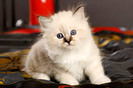 Furry White Kitten