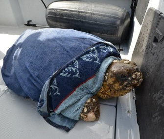 A concerned homeowner called Florida Fish and Wildlife officers when she spotted a lethargic loggerhead sea turtle.