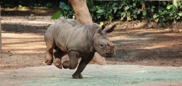Baby white rhino Jumaane at the Singapore Zoo