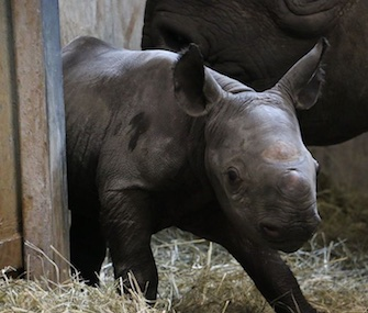 A female Eastern black rhino was born last week at Iowa's Blank Park Zoo.