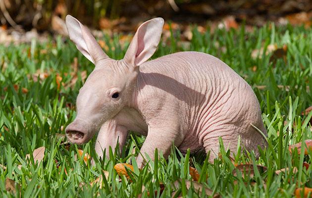 Busch Gardens Aardvark