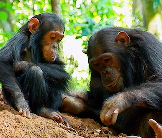 Under the new proposal, chimps in captivity would get the same protections as those in the wild.