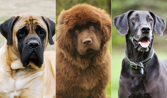 Mastiff, Newfoundland and Great Dane split