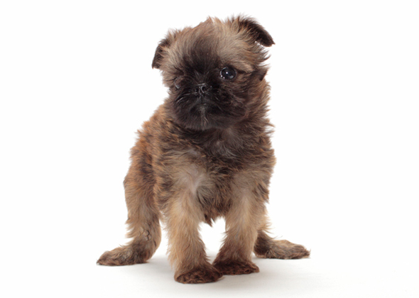 11 tiny dogs under 15 pounds who stay cute and small for Tiny puppies that stay tiny for sale