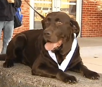 Boogie, a chocolate Lab, got a medal on Tuesday for completing a half marathon on his own.