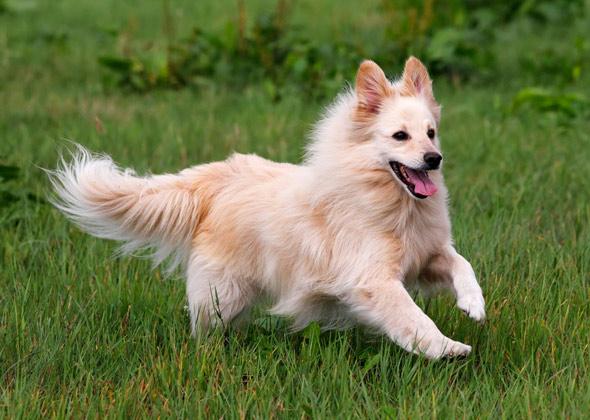 Italian Dog Breeds List