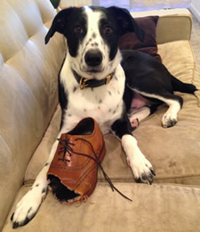 dog with chewed Cole Haan shoe