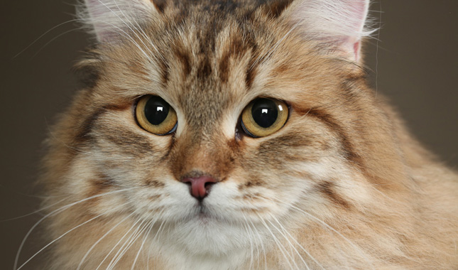 3e301f3b63 Siberian Cat Breed Information