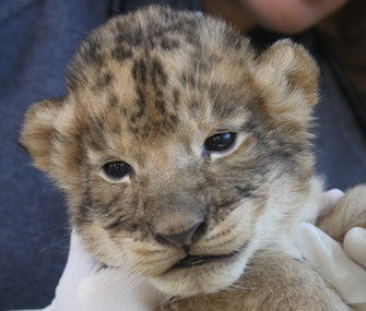 Officials at Reid Park Zoo are closely monitoring the four surviving members of a lion litter.