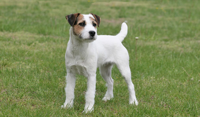 parson type jack russell terrier puppies for sale jack russell terrier breed information