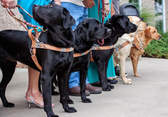 guide dogs with their handlers