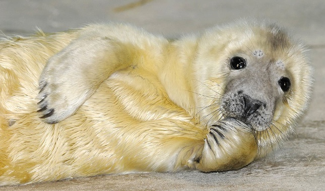 A grey seal pup was born at the Brookfield Zoo on New Year's Day.