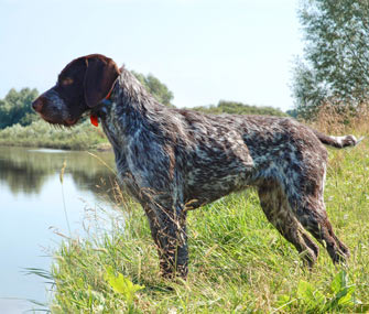 German Shorthaired Pointer at river