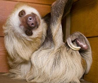 Sloth at Zoo Atlanta