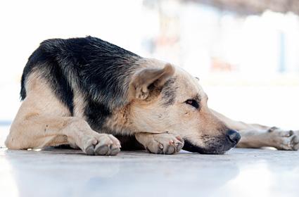 Older dog lying down