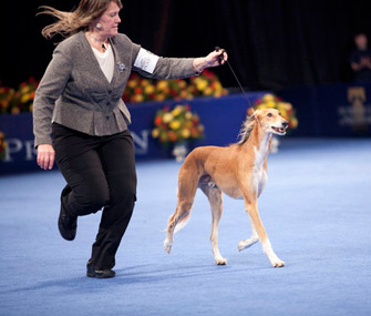 Saluki in 2011 National Dog Show