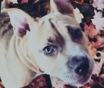 Miyah, a Pit Bull puppy, was reunited with her Connecticut family after being taken from their home while they slept.