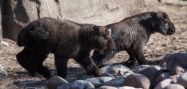 A pair of shaggy Sichuan takin calves