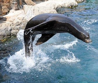 California Sea Lion at New York Aquarium