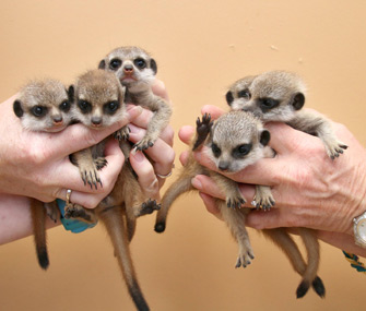 Meerkats born at Taronga Zoo