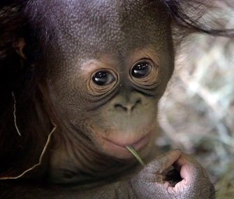Tuah, a 5-month-old Bornean orangutan, made his debut at the Hogle Zoo in Salt Lake City on Saturday.