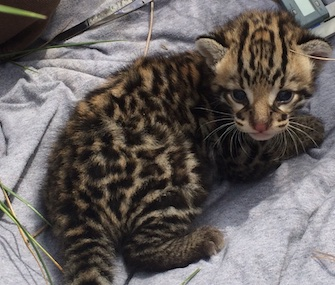 Biologists found a 3-week-old male ocelot kitten in his mom's Texas den.