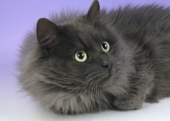 10 Long Haired Cat Breeds We Love