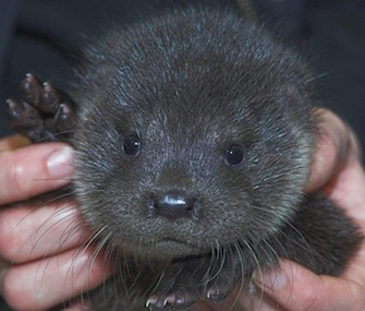 Buddy, an orphaned baby otter, was found on a doorstep in Scotland.