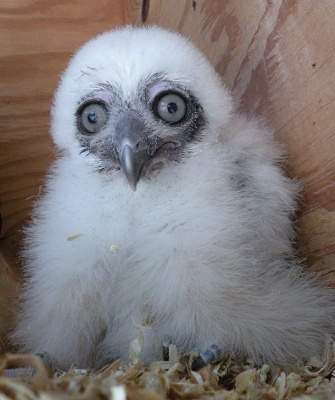 Spectacled owl chick at the Phoenix Zoo
