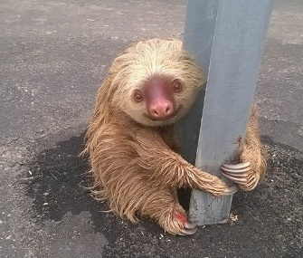 Police in Ecuador came to the rescue of an adorable sloth who was stranded in the middle of a highway.
