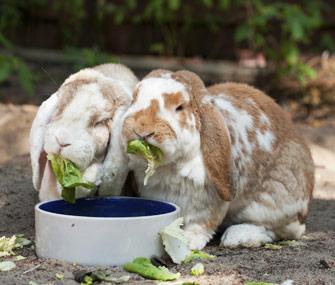 Understanding And Avoiding Rabbit Digestive Problems