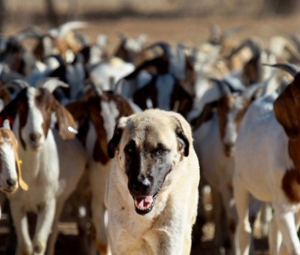 Anatolian Shepherd dog Bonzo leads a herd of goats on a farm in Namibia.