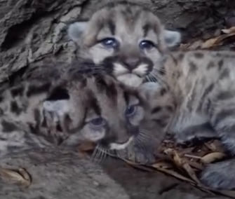 Two adorable mountain lion kittens were found tucked away in a den in the Santa Monica Mountains.
