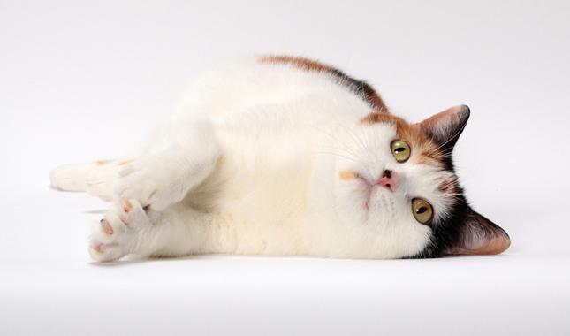 Manx Cat Breed Information