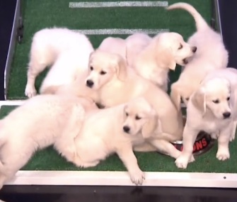 Jimmy Fallon's puppy predictors clearly favored the Atlanta Falcons in Super Bowl LI.