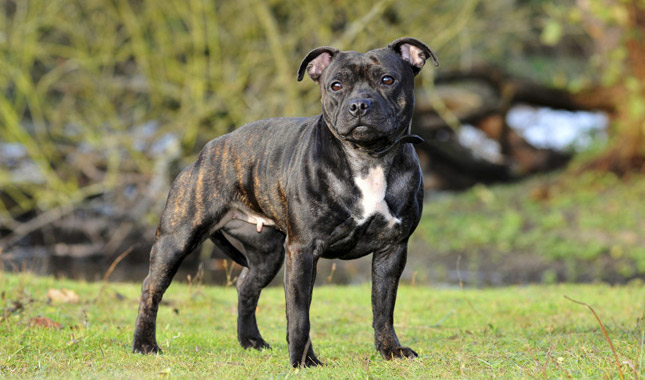 Blue Staffy For Sale : Staffordshire bull terrier dog breed information
