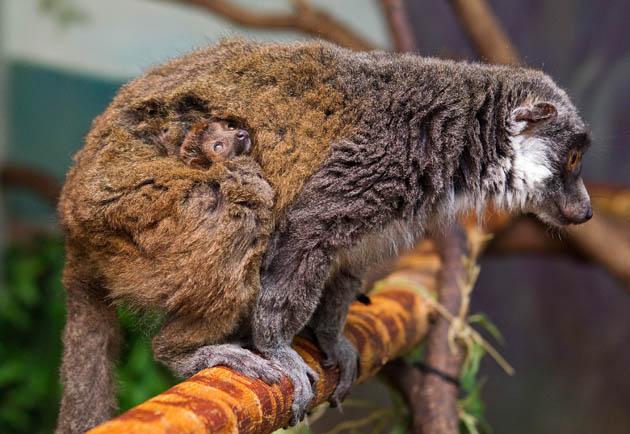 Baby mongoose lemur