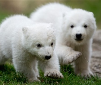 Fourteen-week-old brother and sister polar bear cubs made their first public appearance on Wednesday.